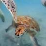 turtle sup action barbados