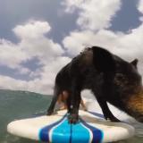 surfing pig kama - das surfende schwein