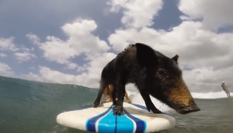 Das surfende Schwein von Sandy Beach